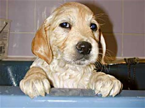 how to bathe a golden retriever bathing border collies golden retrievers and dogs how to bath a golden retriever or