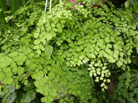 where to buy house plants house plant maidenhair fern buy it now