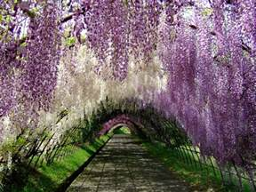 wisteria flower tunnel japan move over cherry blossoms wisteria may be the most
