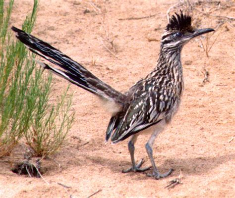 new maexico s state bird walters new mexico