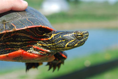 Heat L For Aquatic Turtles by When A Species Can T Stand The Heat Science News For