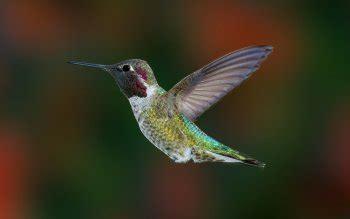 colibr fondos de pantalla 1920x1200 432 256 aves colibr 237 es fondos de pantalla hd fondos de