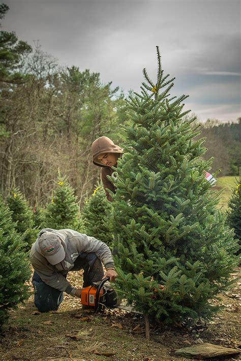 choose and cut trees in illinois lil grandfather mountain tree farm