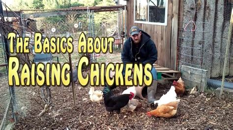 Backyard Chickens 101 100 Chickens 101 The Basics Of A Backyard Flock