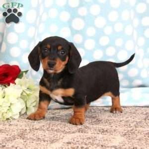 dachshund puppies pa dachshund puppies for sale in de md ny nj philly dc and baltimore