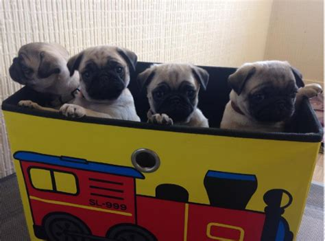 pug pregnancy calculator these pugs following their toddler owner is the cutest thing