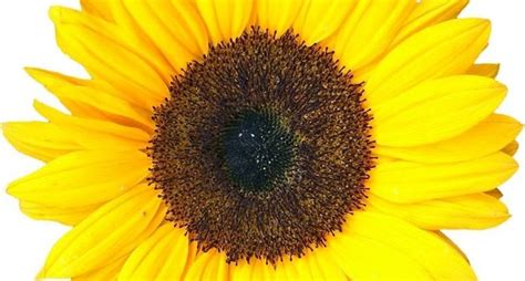 fiori girasole girasoli significato significato fiori girasoli