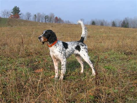 english setter dog images english setter hunting dogs pinterest english
