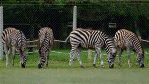 zebra twycross zoo
