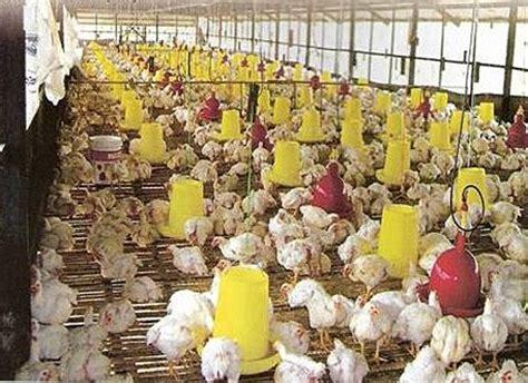 Bibit Ayam Pedaging Di Medan budidaya dan ternak budidaya ayam broiler