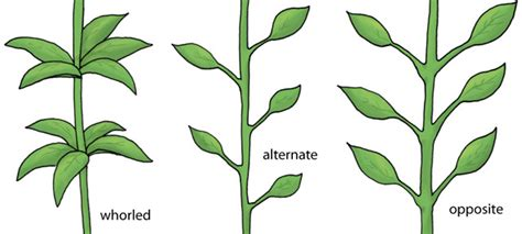 the pattern of leaf arrangement is called science in context document