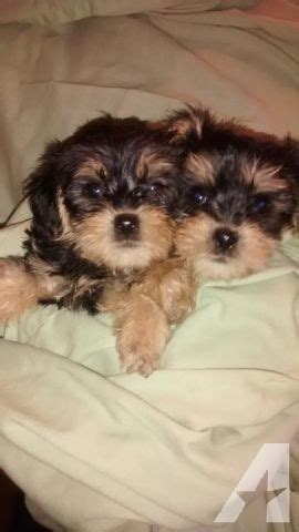 teacup yorkie breeders in md teacup yorkie puppies for sale in maryland