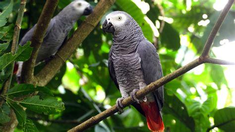 wallpaper grey birds african grey parrot wallpaper hd 3840x2160 wallpapers13 com