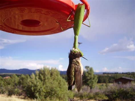 praying mantis attacks hummingbird living the scientific