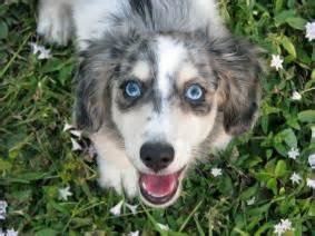 miniature dachshund puppies jacksonville fl mini dachshund for sale jacksonville fl dogs in our photo