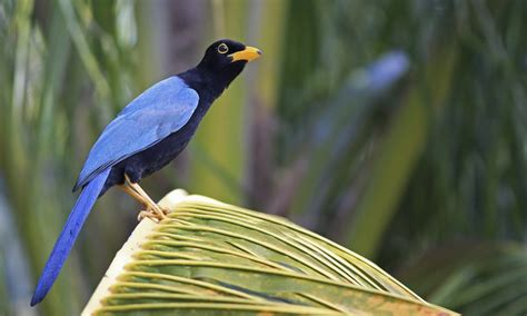 yucatan jay introduction neotropical birds online