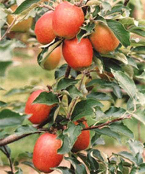 fruit trees historic varieties grown and supplied by - Bernwode Fruit Trees