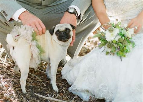 pug in a tutu real wedding dottie snippet ink snippet ink