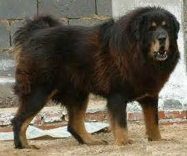 Russian Mountain Dog Puppies » Home Design 2017