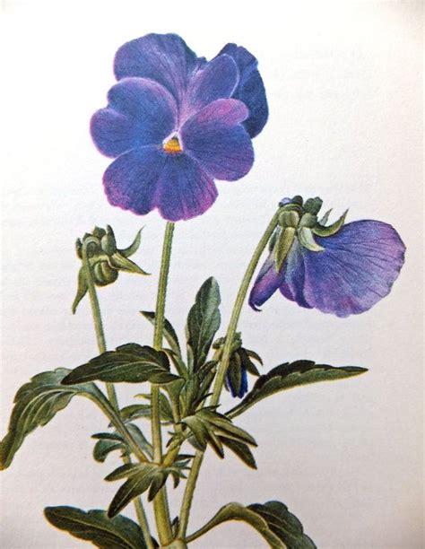 Elif Sarimbit Family 17 Violet 17 best images about botanical violets on the flowers vintage and antiques