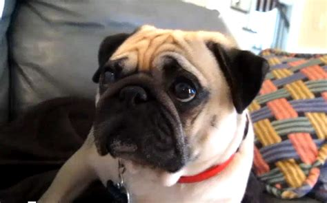 bad pug pug gets scolded takes it