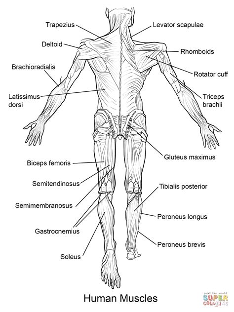 anatomy coloring pages answers biology corner muscles anatomy organ