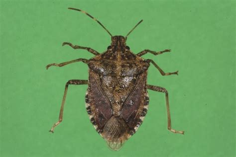 bed bugs in ohio brown marmorated stink bug could be ohio s next pest ohio ag net ohio s country