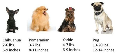 yorkie sizes yorkie size terrier information center