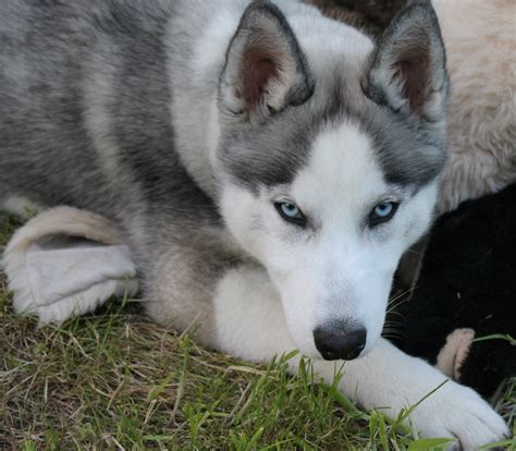 grey husky puppies siberian husky wolf grey search ζωα