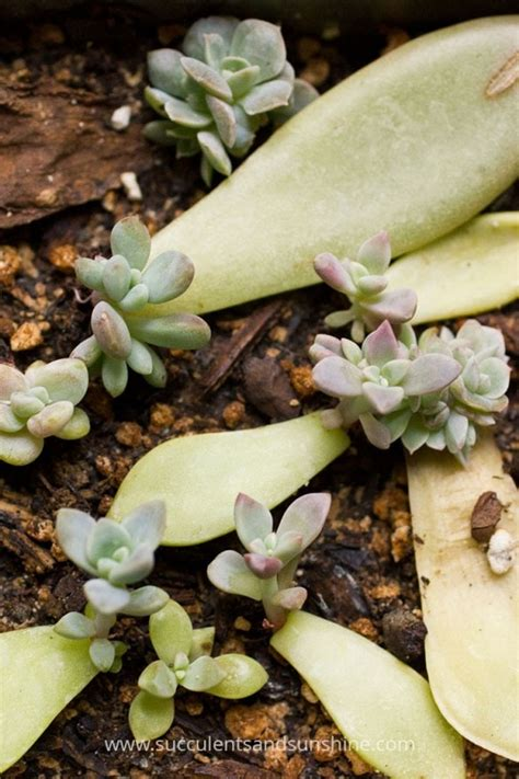 Propagating Succulents Can Be Done By Using The Offsets - succulent leaf cuttings update succulents and