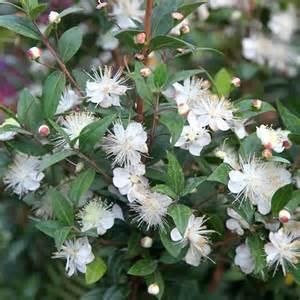 Winter Indoor Herb Garden - buy common myrtle myrtus communis myrtus communis delivery by waitrose garden in association