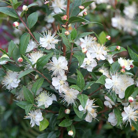 evergreen shrubs with white flowers myrtus communis common myrtle evergreen shrub with white