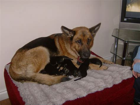 german sheperd puppies for sale german shepherd puppies for sale ormskirk lancashire pets4homes