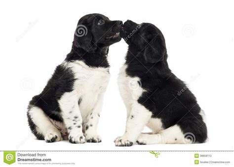 stabyhoun puppies two stabyhoun puppies cuddling together stock photo image 38858113