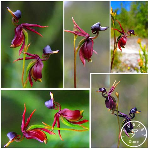 orchideen samen kaufen schwarze orchidee samen kaufen billigschwarze orchidee
