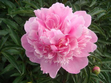 pink peonies pink peony by alphaprimedx on deviantart