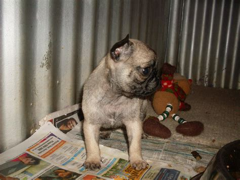 pugs for sale in queensland for sale bred pug puppies