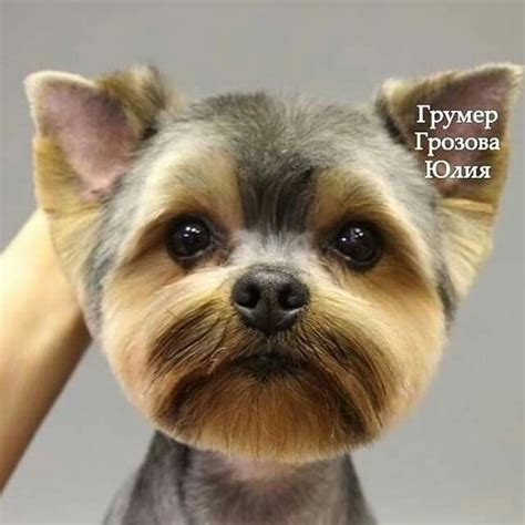 how to trim a terriers face the 25 best ideas about yorkie haircuts on pinterest