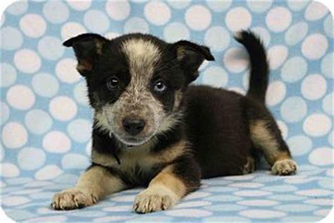 blue heeler husky mix puppies westminster co husky blue heeler mix meet wendi a puppy for adoption