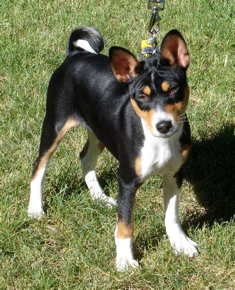 basenji puppy breed information willamette valley basenji club