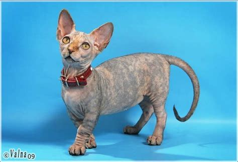 Creature Comforts Cat by The Five Ugliest Cat Breeds In The World Cat