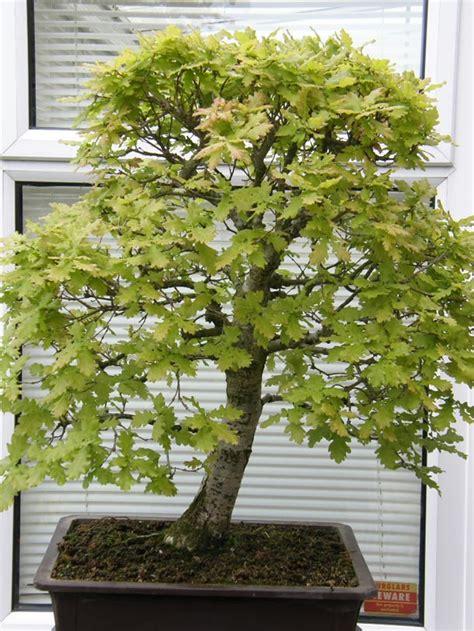 indoor bonsai kaufen in praise of trees swindon district bonsai