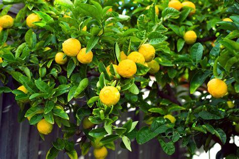 meyer lemon tree how to care for a meyer lemon tree ebay