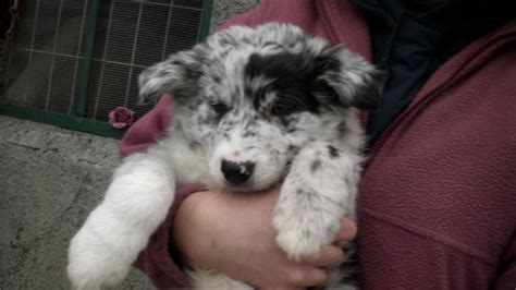 blue merle border collie puppies for sale blue merle border collie puppies