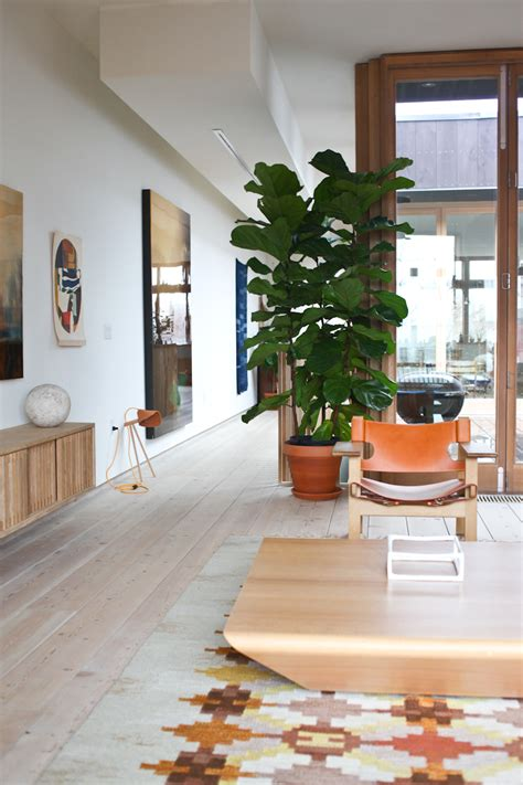 toronto home decor fiddle leaf fig ficus at kitka design toronto