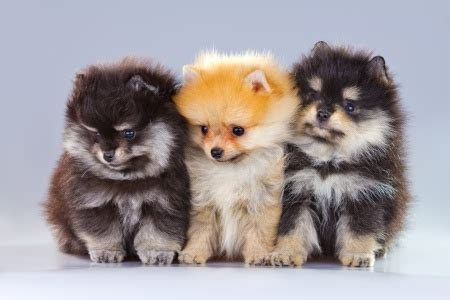 images of pomeranian pomeranians breed specific information