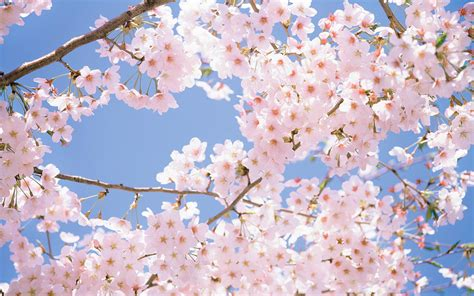 cherry blossoms images cherry blossom backgrounds wallpaper cave
