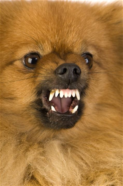 pomeranian aggressive fatal attack on infant by pomeranian in california