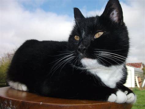 mixed breed tuxedo cat by nokomismoondreamer on deviantart