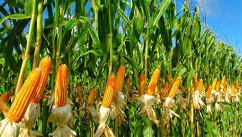 Benih Jagung Hibrida Pioneer kementan tegaskan tidak ada impor benih jagung aceh bisnis
